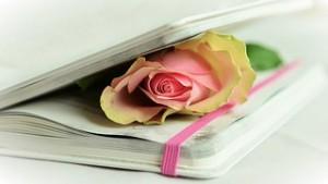 rose-764267__180
